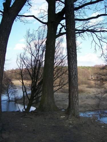 дуб с сосной
